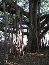 Photo: Mangrove along Brisbane River