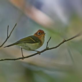 sunda warbler by Dedy Istanto - Animals Birds