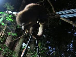 Photo: Kinkajou (racoon relative) eating banana