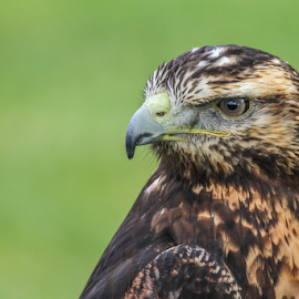 tawny by Garry Chisholm - Animals Birds ( raptor, bird of prey, nature, tawny eagle, garry chisholm )