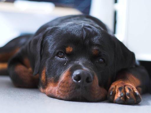 Rottweiler Dog Live Wallpaper