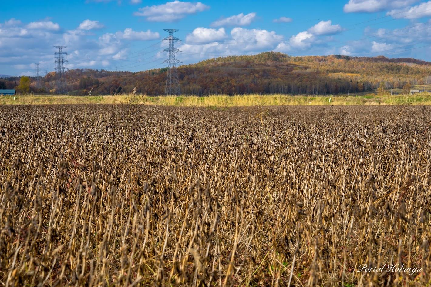 黒千石大豆の圃場
