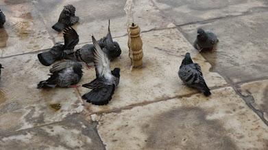 Photo: Tauben beim erfrischenden Bad