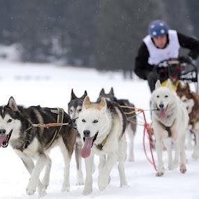 sleddog by Alessandra Antonini - Sports & Fitness Other Sports ( dogs, sleddog, outdoor, musher, snow, race )