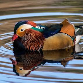 Mandarin Duck by Barry Smith - Animals Birds ( wild, nature, ducks, wildlife, birds,  )