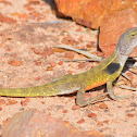 Yellow Two-lined Dragon (male)