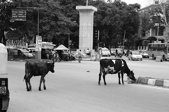 Photo: More cows in traffic