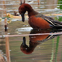 Cinnamon teal (male)