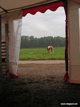Photo: De koe kijkt even of ik niet stiekem een bank op mijn nek meeneem uit de tent. Koetje, vanmiddag kom ik terug en ga ik voor de koffie.