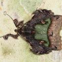 Emeraldine Erebid moth