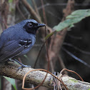 Black-faced Antbird