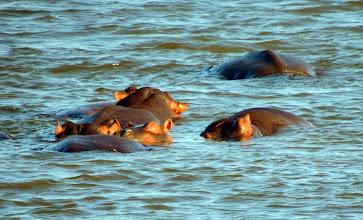 Photo: Бегемотов можно увидеть в речке перед въездом в Парк Крюгера