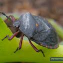 Dinidorid stinkbug
