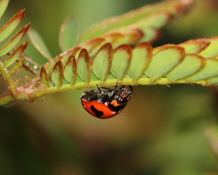Lady Bird by Paramasivam Tharumalingam - Animals Insects & Spiders
