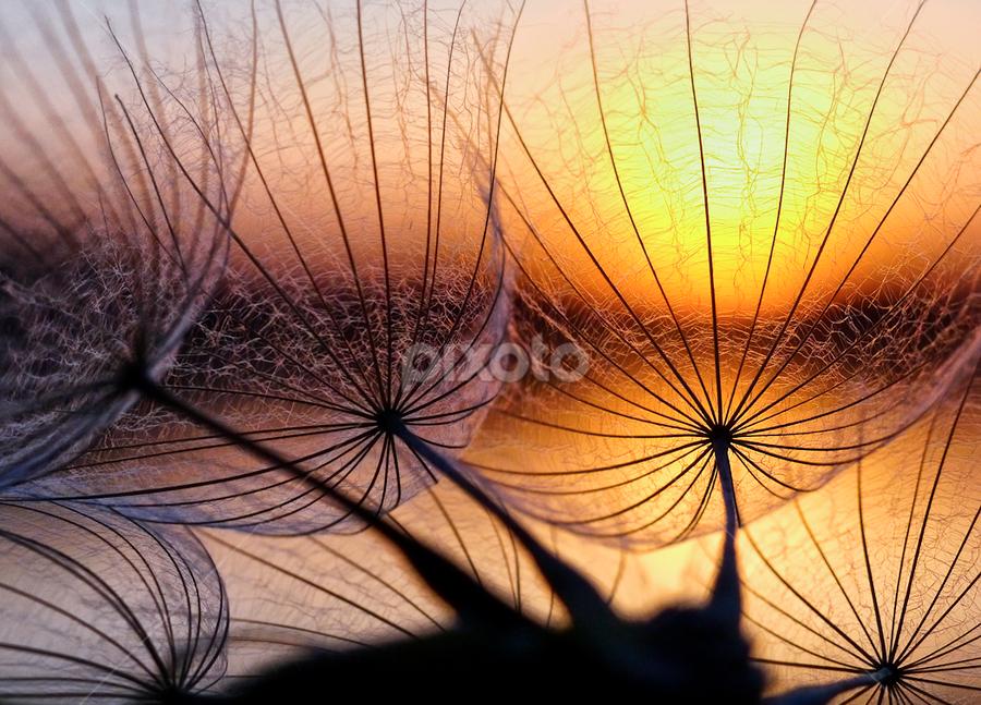 sun catchers by Marianna Armata - Abstract Fine Art ( filegre, macro, dandelion, sunset, seeds, marianna armata, transparent, fine, gossamer, light, sun,  )