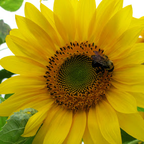 Bee in Flower by Jeff Dalton - Animals Insects & Spiders ( picture, animals, nature, bee, sunflower, yellow, flowers, photography, flower, animal )