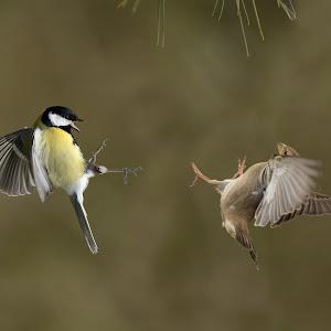 D:\01 GALERIJA FOTO\01 ptice\Velika sinica    Parus major\pixoto\v-sinica-84.jpg