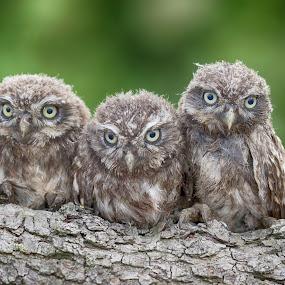Six eyes by Jürgen Sprengart - Uncategorized All Uncategorized ( hdr, steinkauz, green, birds, owls, animal, six )