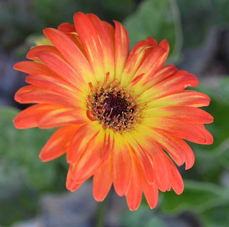 Center Of Attention by Ed Hanson - Flowers Single Flower ( orange, macro, nature, daisy, yellow )