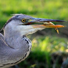 Gray Heron by Manoj Kulkarni - Animals Birds ( fish, catch, sanctuary, wildlife, long, gray, heron, wader, bird, nature, food, bharatpur, beak, pray, fishing )