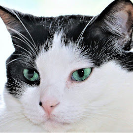 by Linda    L Tatler - Animals - Cats Portraits ( pets, feline, black and white cat, cat, animal,  )