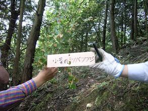 Photo: 「コバノミツバツツジ」 花が終わると小さな葉が三枚開きはじめる。 ピンクの花が早春の山を彩る。漢字では、小葉の三つ葉躑躅と書く。