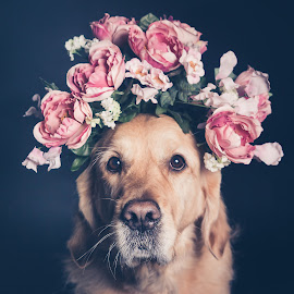 Golden Retriever dog in a flower crown, filter. by Mario Forcherio - Animals - Dogs Portraits ( expression, studio, breed, retriever, fashion, crown, flowerscrownspringtime, indoors, beauty, cute, spring, pretty, love, nature, happy, lifestyle, lovely, hair, flower, closeup, animal, isolated, grass, elegance, beautiful, funny, friendly, happiness, enjoy, posing, portrait, rose, obedient, sitting, doggy, color, pet, elegant, purebred, adorable, dog, friend, floral, golden )