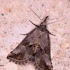 Zekelita (Rhynchodontodes)