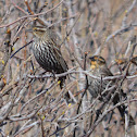 Red-winged Blackbird - females