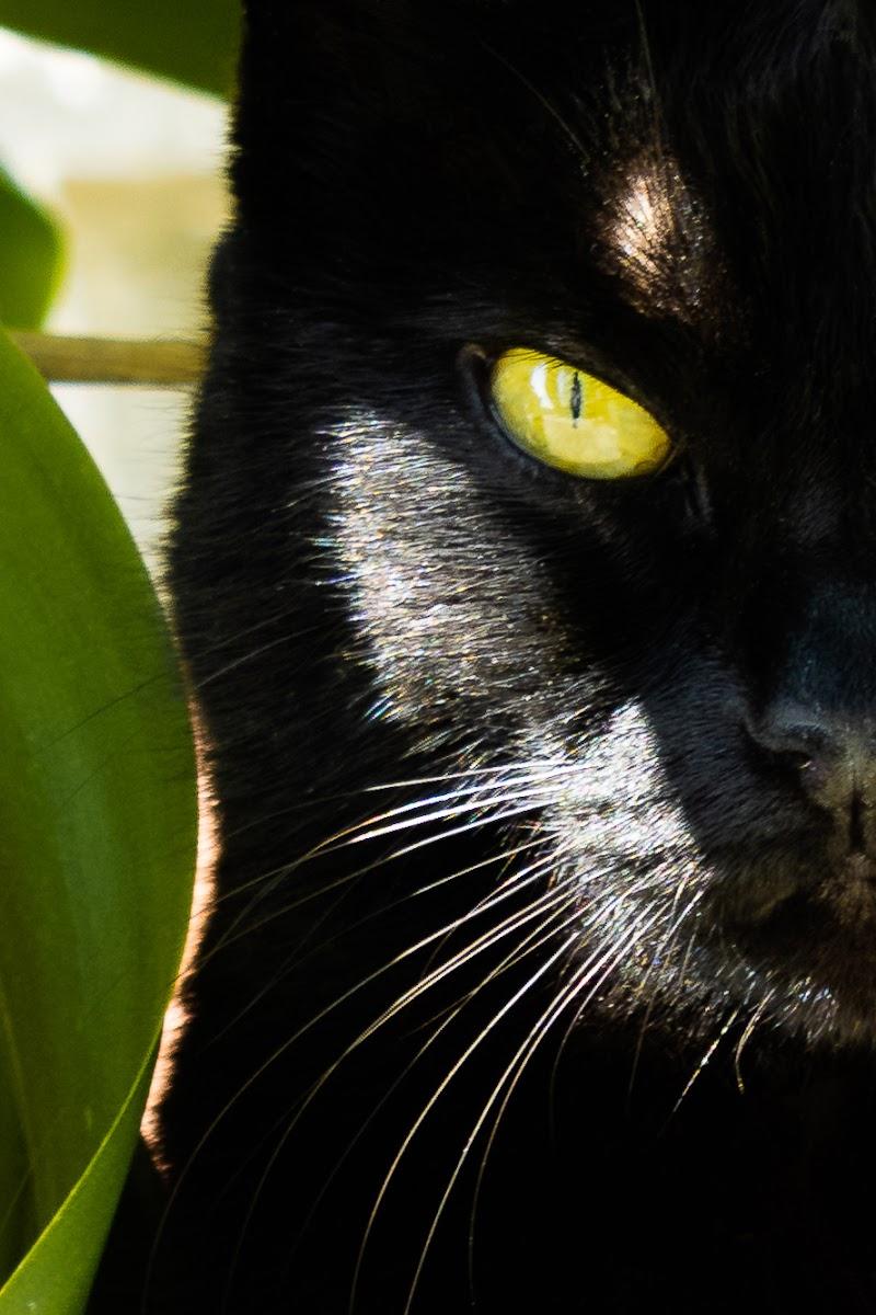 Gatto o Pantera Nera di caue_b3