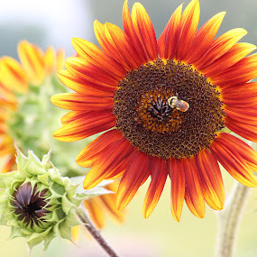 Field of Sunflowers by April Nowling - Flowers Flowers in the Wild ( wildflower, nature, sunflower, bumblebee, flower,  )