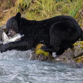 Fishing Black Bear by Kathy Suttles - Animals Other ( salmon run, alaska, in the wild, black bear, suttleimpressions, valdez,  )