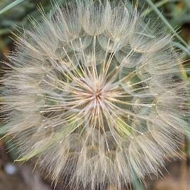 Dandelion by Angela Higgins - Nature Up Close Other plants