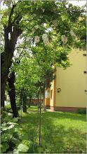 Photo: Salcâm (Robinia pseudoacacia)     - din Turda, Str. Aviatorilor, Nr. 2 Bloc B 14 - 2019.05.21