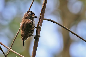 Photo: White-barred Piculet