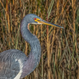 Tri-Colored Heron by Don Young - Animals Birds ( herons, tri-colored heron, nature, bird photography, portraits, birds )