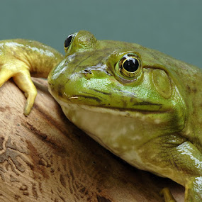 Frog 1 by Tom Vogt - Animals Amphibians ( , face, photography, closeup, close, up, Backyard, insects, reptiles, living creatures, green, colors, daily life )