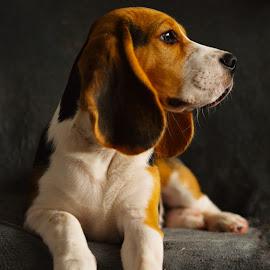 by Gergana Stefanova - Animals - Dogs Portraits ( love, beagle, light )
