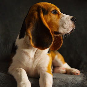 by Gergana Stefanova - Animals - Dogs Portraits ( love, beagle, light )