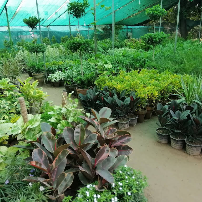 Whole Plant Nursery In Faisalabad