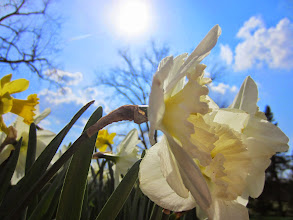 Photo: White daffodils and sun at Cox Arboretum and Gardens Metropark in Dayton, Ohio.