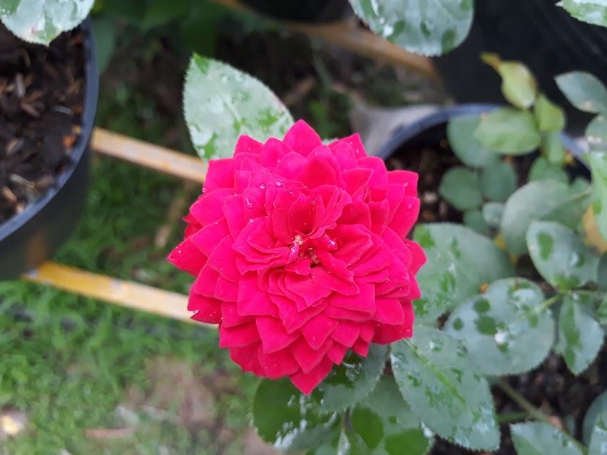 Hồng Red Piano rose hoa bói form hoa bè ra như hồng Molineux rose