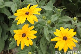 Photo: 拍攝地點: 梅峰-溫帶花卉區 拍攝植物: 金光菊 拍攝日期: 2015_07_29_FY