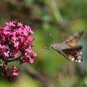 Esfinge colibrí (Hummingbird hawk-moth)
