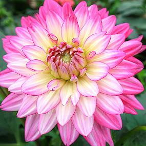 Pretty Pink Tips by Millieanne T - Flowers Single Flower