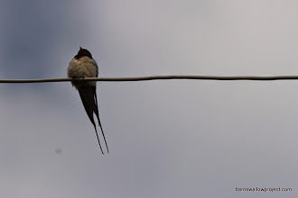 Photo: Proud Russian barn swallow
