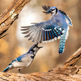 Blue Jays 1902024346 by Carl Albro - Animals Birds ( flight, bird in flight, blue jay, bird, flying, fighting, wildlife )