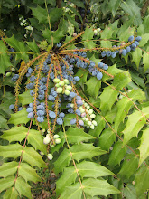 Photo: Mahonia berries turn blue in May.  This is why it's called Oregon grape holly.