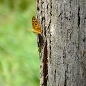 common brown(m)
