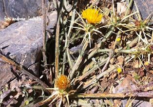 Photo: Centaurea idaea (compositate) Ενδημικό Κρήτης (οροσειρά Δίκτης 1865 μ.)  ΚΕΝΤΑΥΡΙΑ ΤΗΣ ΙΔΗΣ. ∆ιετές φυτό µε πολλούς βλαστούς. Ο κεντρικός πολύκοντός, οι άλλοι µήκους 10-15 (-30) cm, λίγο εως πολύ διακλαδισµένοι. Φύλλα γκριζοπράσινα. Φύλλα βάσης 10-13 cm, σε ρόδακα, επιµήκη εξωτερικά µε ωοειδή-τριγωνικούς, οδοντωτούς λοβούς, τα ανώτερα γραµµοειδή. Κεφάλια ανά 1 µε ανθίδια κίτρινα, αδενώδη. Βράκτια χνουδωτά, κιτρινωπά. Βράκτια υπανθίου µε ακραίο αγκάθι και 1-2 πλάγια µαύρα αγκάθια. Αχαίνια µήκους περίπου 2,5 mm, τα εξωτερικά ανθίδια χωρίς πάππο, τα εσωτερικά µε πάππο ίσου µήκους µε τα αχαίνια.